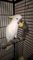 Parrot Birds for sale in New York County, NY, USA. price: NA