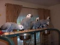 Parrot Birds for sale in Virginia Beach, VA, USA. price: NA