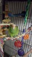 Parrot Birds for sale in El Cajon, CA 92021, USA. price: NA