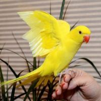 Parrot Birds for sale in Ashburn, VA, USA. price: NA
