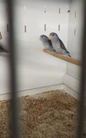 Parrot Birds for sale in Florida Ave, Miami, FL 33133, USA. price: NA