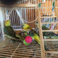 Parrot Birds for sale in New River, AZ, USA. price: NA