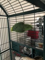 Parrot Birds for sale in Taylorsville, NC 28681, USA. price: NA