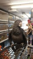 Parrot Birds for sale in Phillips, WI 54555, USA. price: NA