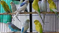 Parrot Birds for sale in Valley Village, Los Angeles, CA, USA. price: NA
