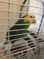 Parrot Birds for sale in Fontana, CA, USA. price: NA
