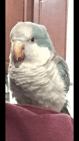 Parrot Birds for sale in Dearborn, MI, USA. price: NA
