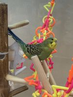 Parrot Birds for sale in Clarksville, TN, USA. price: NA