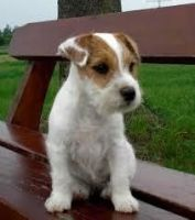 Parson Russell Terrier Puppies for sale in Boulder, CO, USA. price: NA