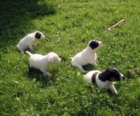 Parson Russell Terrier Puppies for sale in Provo, UT, USA. price: NA