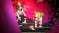 Parson Russell Terrier Puppies for sale in Alexandria, LA, USA. price: NA