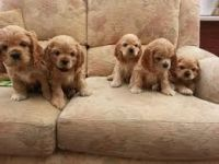 Parson Russell Terrier Puppies for sale in California St, San Francisco, CA, USA. price: NA
