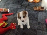 Parson Russell Terrier Puppies for sale in Rockford, IL, USA. price: NA