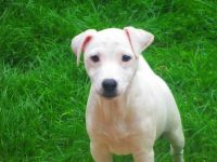 Parson Russell Terrier Puppies for sale in El Segundo, CA 90245, USA. price: NA