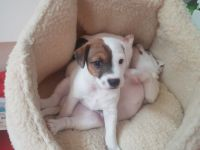 Parson Russell Terrier Puppies for sale in New Castle, PA, USA. price: NA