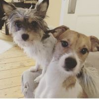 Parson Russell Terrier Puppies for sale in Texas City, TX, USA. price: NA