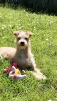 Parson Russell Terrier Puppies for sale in Fort Worth, TX, USA. price: NA
