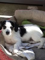 Parson Russell Terrier Puppies for sale in Sacramento, CA, USA. price: NA