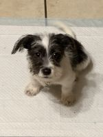 Parson Russell Terrier Puppies Photos