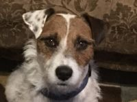 Parson Russell Terrier Puppies for sale in Abilene, TX, USA. price: NA