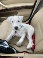 Parson Russell Terrier Puppies for sale in Stuart, FL, USA. price: NA