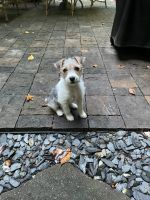 Parson Russell Terrier Puppies for sale in Alpharetta, GA, USA. price: NA