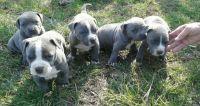 Pastor Garafiano Puppies Photos