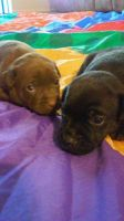 Patterdale Terrier Puppies for sale in West Covina, CA, USA. price: NA