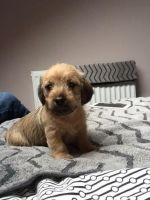 Patterdale Terrier Puppies for sale in Houston, TX, USA. price: NA