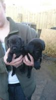 Patterdale Terrier Puppies for sale in Phoenix, AZ, USA. price: NA