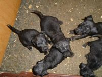 Patterdale Terrier Puppies for sale in Waynesville, NC 28786, USA. price: NA