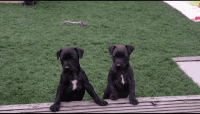 Patterdale Terrier Puppies for sale in Los Angeles, CA, USA. price: NA