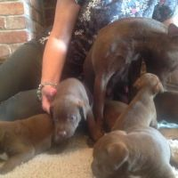 Patterdale Terrier Puppies for sale in Carlsbad, CA, USA. price: NA
