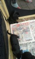 Patterdale Terrier Puppies for sale in Austin, TX, USA. price: NA