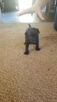 Patterdale Terrier Puppies for sale in Groton, CT, USA. price: NA