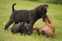 Patterdale Terrier Puppies for sale in El Paso, TX, USA. price: NA