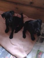 Patterdale Terrier Puppies for sale in Missiouri CC, Elsberry, MO 63343, USA. price: NA