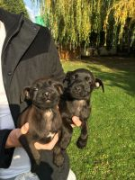 Patterdale Terrier Puppies for sale in Minnesota St, St Paul, MN 55101, USA. price: NA
