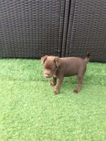 Patterdale Terrier Puppies for sale in Massachusetts Ave, Boston, MA, USA. price: NA