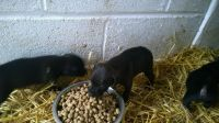 Patterdale Terrier Puppies for sale in Maryland City, MD, USA. price: NA