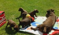 Patterdale Terrier Puppies for sale in Merrick, NY, USA. price: NA