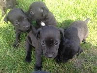 Patterdale Terrier Puppies for sale in Seattle, WA, USA. price: NA