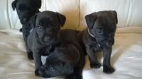 Patterdale Terrier Puppies for sale in Bloomfield Ave, Bloomfield, CT 06002, USA. price: NA