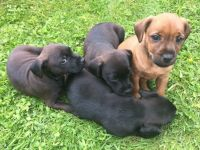 Patterdale Terrier Puppies for sale in Seattle, WA 98185, USA. price: NA