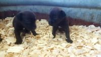 Patterdale Terrier Puppies for sale in Longton, KS 67352, USA. price: NA