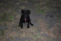 Patterdale Terrier Puppies for sale in Houston, TX 77012, USA. price: NA