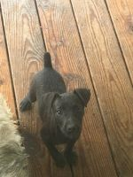 Patterdale Terrier Puppies for sale in Flatwoods, KY 41139, USA. price: NA