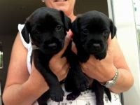 Patterdale Terrier Puppies for sale in Indianapolis Blvd, Hammond, IN, USA. price: NA