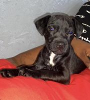 Patterdale Terrier Puppies for sale in Sacramento, CA, USA. price: NA