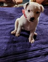 Patterdale Terrier Puppies for sale in Shelby, OH 44875, USA. price: NA